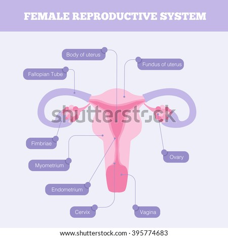 female reproductive system stock images, royalty-free images, Muscles