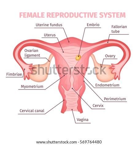 Female Reproductive System Diagram Cartoon Diy Wiring Diagrams