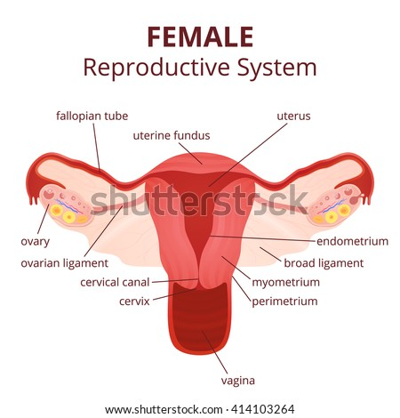 female reproductive system, the uterus and ovaries scheme, the phase of the menstrual cycle