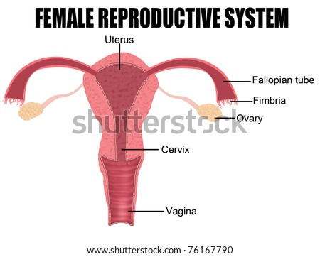 Female Reproductive System (useful for education in schools and clinics ) - vector illustration - stock vector