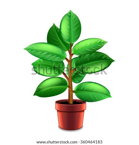ficus tree in pot isolated on white vector - Ficus Trees