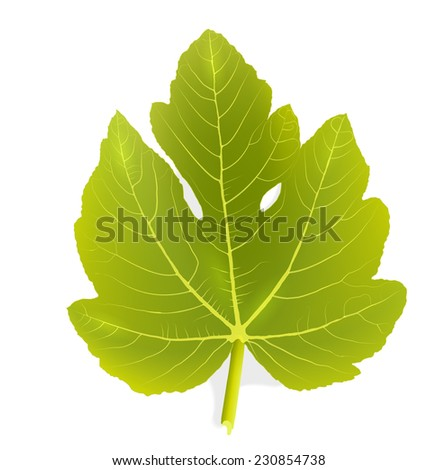 Fig leaf - stock vector