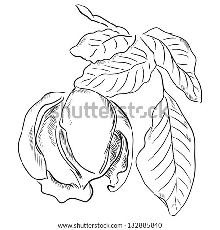Figure walnut leaves. Vector illustration is made by hand.
