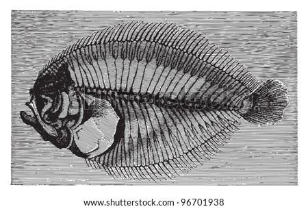 Fish fossil - Rhombus minimus (Tertiary period) / Vintage illustration from Meyers Konversations-Lexikon 1897 - stock vector