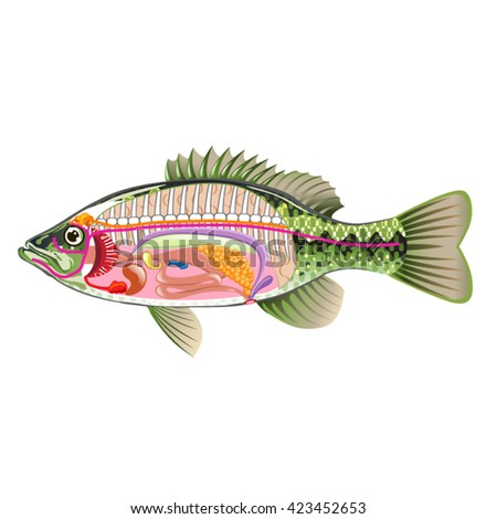 Fish internal organs vector art diagram stock vector 423452653 fish internal organs vector art diagram anatomy without labels ccuart Gallery