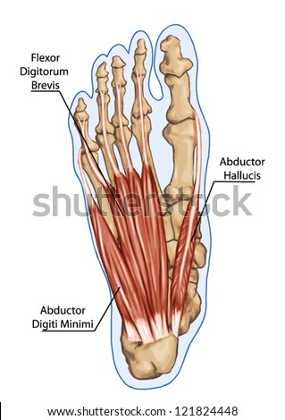 Flexor Digitorum Brevis - Anatomy of leg and foot human muscular and bones system