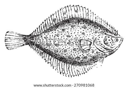 Flounder, vintage engraved illustration. Natural History of Animals, 1880. - stock vector