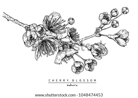 flower drawings collection cherry blossom sakura stock vector