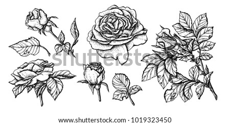 Flower set highly detailed hand drawn roses.