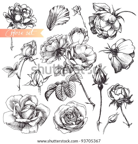 Flower set: highly detailed hand drawn roses. - stock vector