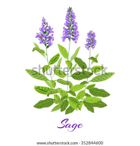 Flowering sage. Sage herb. Vector illustration - stock vector