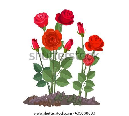 White Garden Rose Bush rose plant stock images, royalty-free images & vectors | shutterstock