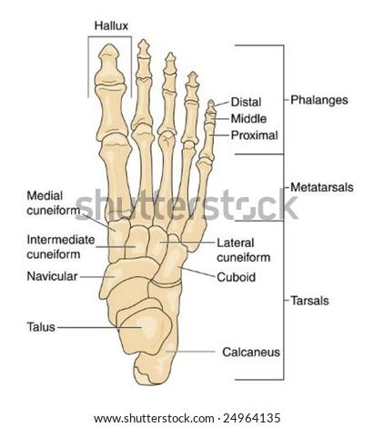 Foot Bones Labeled Stock Vector 24964135 Shutterstock