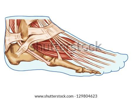 Foot Muscles Tendons Anatomy Leg Foot Stock Vector 129804623 ...