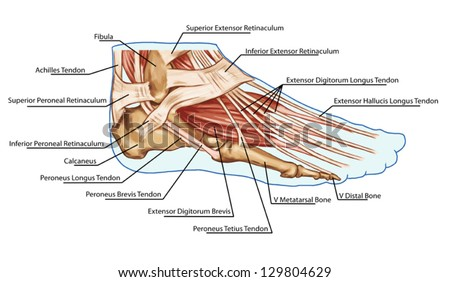 Foot Muscles Tendons Anatomy Leg Foot Stock Vector 129804629