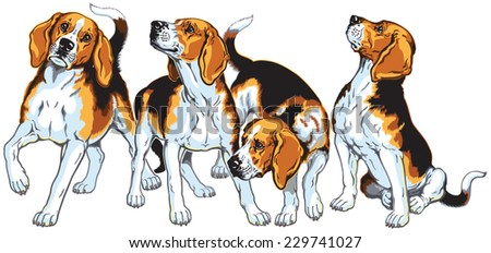 four beagle hounds , hunting dogs breed, image isolated on white