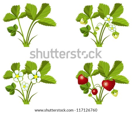Four phases of strawberry sprout growth, vector illustration - stock vector