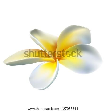 Frangipani flower - stock vector