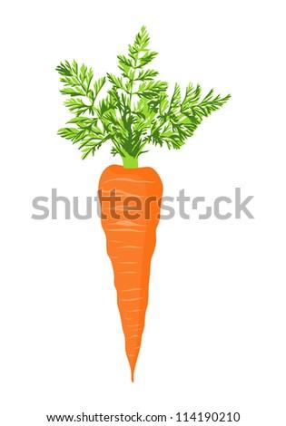 Fresh carrot - stock vector