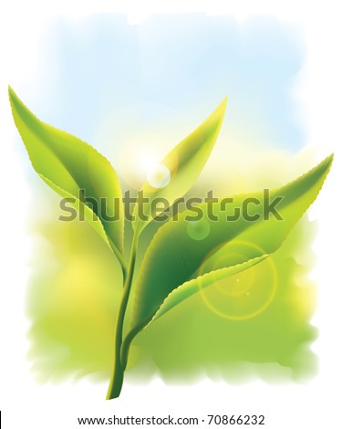 Fresh green tea leaves in the rays of sun. Vector illustration. - stock vector