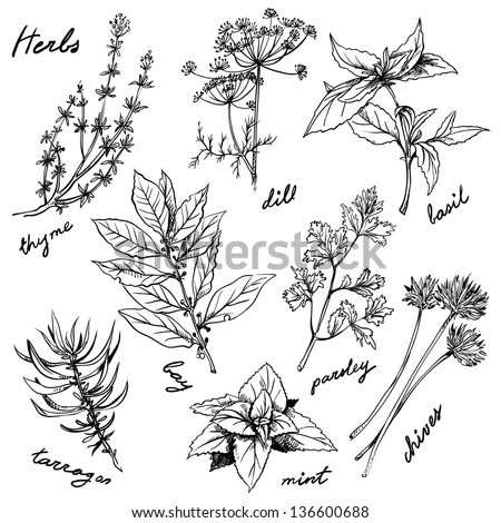 fresh herbs - stock vector