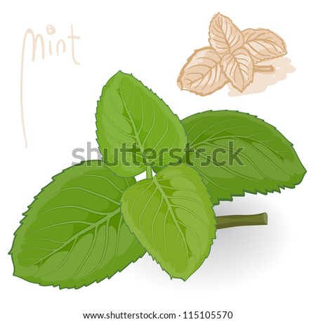 Fresh mint. Vector. - stock vector