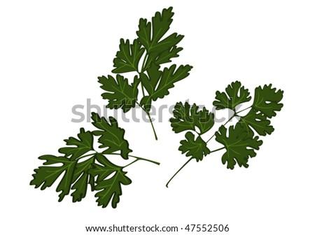 Fresh parsley. Vector illustration. - stock vector