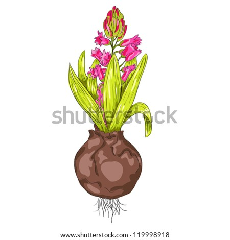 Fresh spring hyacinth flower, vector illustration, can be used for greeting card, decoration, invitation, print templates - stock vector