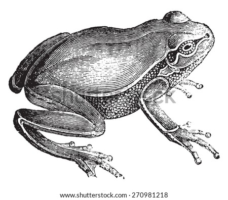 Frog, vintage engraved illustration. Natural History of Animals, 1880.