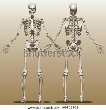front rear view human skeleton male stock vector 199521506, Skeleton