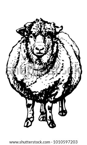 Front View Of Woolly Sheep Vector Ink Drawing Livestock Animal On White Background