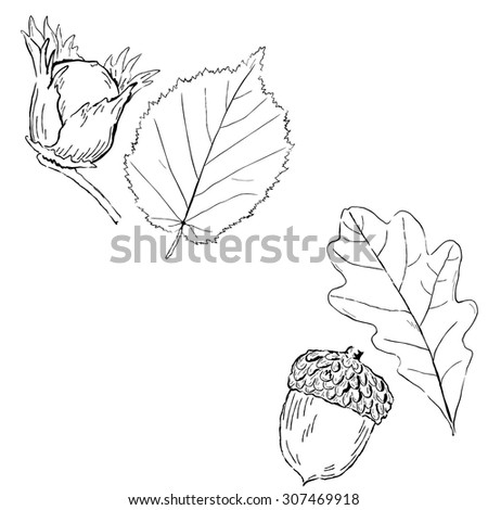 Fruits and leaves of Hazel and oak. Vector illustration - stock vector