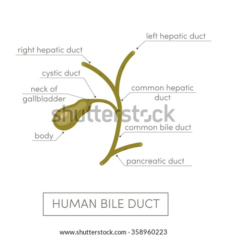 cystic duct stock images, royalty-free images & vectors | shutterstock, Human Body