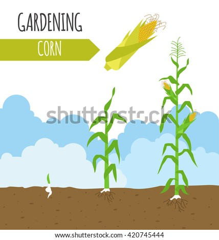 Corn Plant corn plant stock images, royalty-free images & vectors | shutterstock