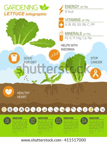 Gardening work, farming infographic. Lettuce. Graphic template. Flat style design. Vector illustration - stock vector