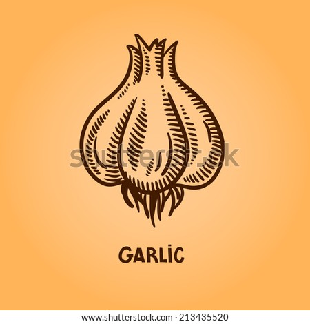 Garlic. Natural spices. Compilation of vector sketches. Kitchen herbs and spice. Vintage style. Hand drawn. - stock vector