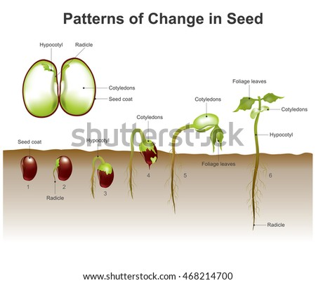 Germination process by which plant grows stock vector 468214700 germination is the process by which a plant grows from a seed the most common ccuart Image collections