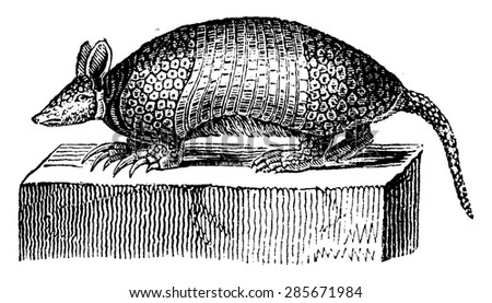 Giant armadillo, vintage engraved illustration. Natural History of Animals, 1880. - stock vector