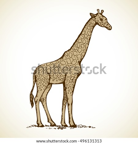 Giraffa camelopardalis is ungulate mammal, tallest ruminant isolated on white background. Freehand outline ink hand drawn picture sketch in art doodle style pen on paper. Side view with space for text