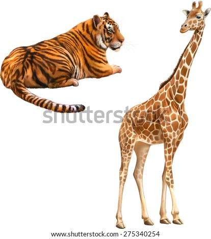 Giraffe standing looking front isolated on white background. Red tiger laying resting - stock vector