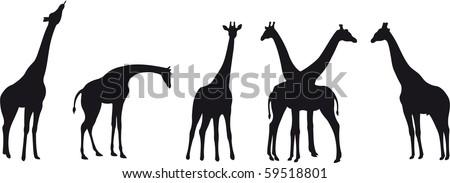 Giraffe vector - stock vector