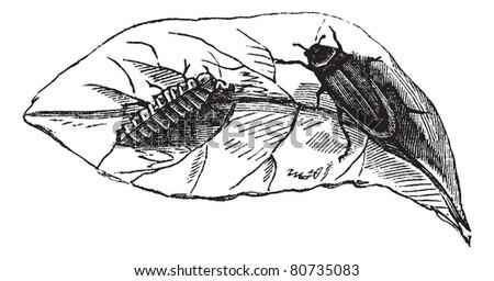 Glow worm (Lampyris Noctiluca) on leaf vintage engraving. Old engraved illustration of glow worms on leaf.  Trousset encyclopedia (1886 - 1891). - stock vector