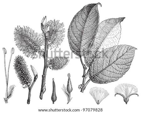 Goat Willow (Salix caprea) / vintage illustration from Meyers Konversations-Lexikon 1897 - stock vector