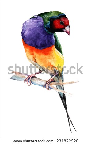 Gould finch, watercolor painting. vector illustration - stock vector