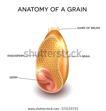 Grain cross section anatomy. Endosperm, germ, bran layer and hairs of brush.