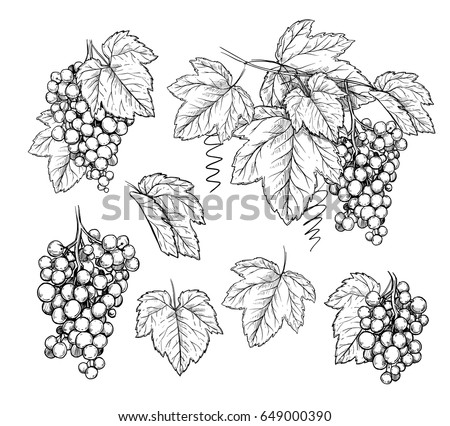 Grape brunch and leaves in engraving style on white background. Hand drawn vector sketch grape for design wine label