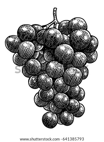 Grape illustration, drawing, engraving, ink, line art, vector