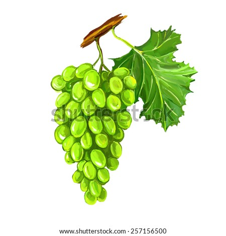 grapes fruit vector illustration  hand drawn  painted watercolor - stock vector