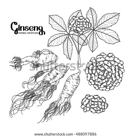 graphic ginseng root berries drawn line stock vector