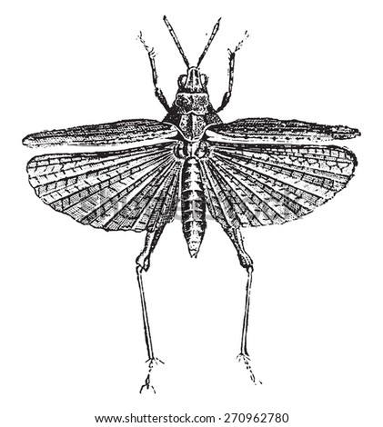 Grasshopper, vintage engraved illustration. Natural History of Animals, 1880. - stock vector